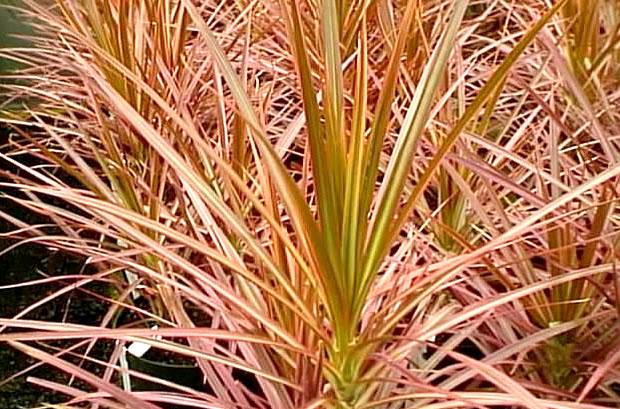 red-edged dracaena