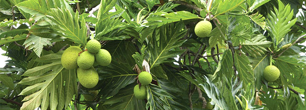 breadfruits on tree