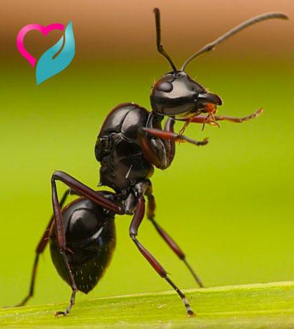 ant homeremedies