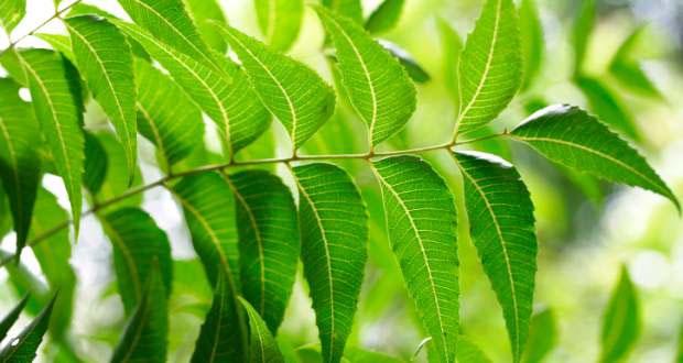 leaves of neem tree